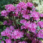 Kermesina rose A .japonica
