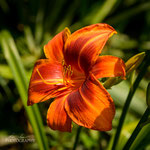 Daylily: Outrageous