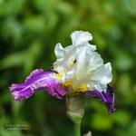 Iris Calypso Beat