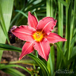 Daylily:Little Business