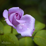 Mainzer Fastnacht Rose