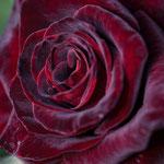Black Baccara Rose