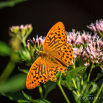 Silver-washed Fritillary(Argynnis paphia)