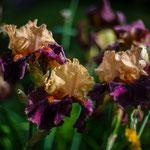 Iris Braggadocio