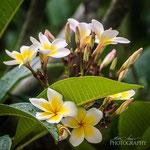 Frangipani-Plumeria Flowers