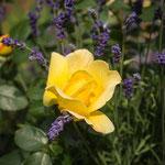 Sunstar Rose
