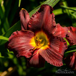 Daylily: Bloodfire