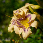 Daylily: Destined To See