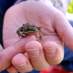 Kleiner Frosch (Foto: B. Langenegger)
