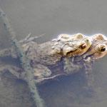 Er läßt sein Weibchen nicht mehr los (Foto: B. Langenegger)