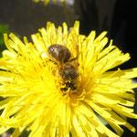 ABEILLE SUR PISSENLIT pollen de pissenlit