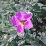 Fleur de ciste  pollen