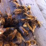 Abeille devant ruche
