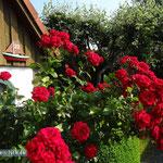 """""""Rote Rosen""""... nicht nur in Lüneburg, sondern auch bei uns in Arnis."""