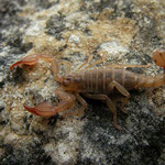 Scorpion (Euscorpius spec.)