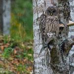 Ural Owl (Strix uralensis) © Ronald Zimmerman