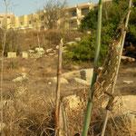 Gewone kameleon (Chamaeleo chamaeleon) in habitat