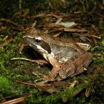 Italian Agile Frog (Rana latastei)