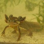 Kleine watersalamander (Lissotriton vulgaris) neoteen dier