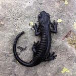 Lanzai's Salamander (Salamandra lanzai)