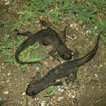 Macedonian crested newts (Triturus macedonicus)