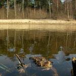 Gewone padden (Bufo bufo)
