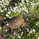 Spur-thighed Tortoise (Testudo graeca) ruining spring scenery. © Laura Tiemann
