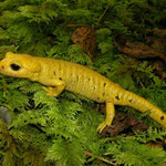 Fire Salamander (Salamandra salamandra bernardezi)