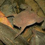 common Surinam toad (Pipa pipa)