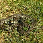 Grass Snake (Natrix natrix sicula)