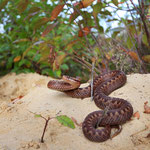 Adder (Vipera berus) female