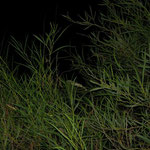 Gewone kameleon (Chamaeleo chamaeleon)