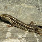 Levant Skink (Trachylepis aurata)