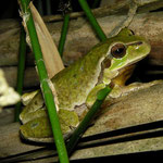 Tree Frog (Hyla arborea) male
