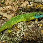 Western Green Lizard (Lacerta bilineata chloronota)
