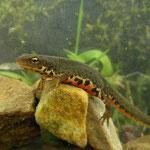 Iberische watersalamander (Lissotriton boscai) mannetje