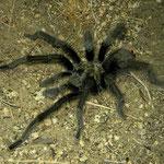 Californian Black Tarantula (Aphonopelma reversum)