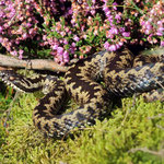 Adder (Vipera berus) male