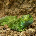 Eastern Green Lizard (Lacerta viridis)