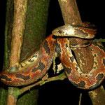 giant earth snake (Atractus major)