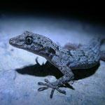 's Avonds zag je rond lampjes die in de boomgaard hingen veel naaktvingergekko's (Cyrtopodion kotschyi). Opvallend veel jonge dieren.