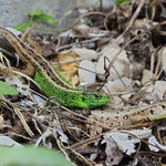 Sand Lizards (Lacerta agilis) couple basking