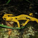 Fire Salamander (Salamandra salamandra bernardezi), Covadonga, Spain, April 2012