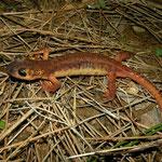 Hybrid Salamander (Lyciasalamandra billae x antalyana)