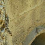 Egeïsche muurhagedissen (Podarcis erhardii)
