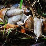 Roman Snails (Helix pomatia) © Laura Tiemann