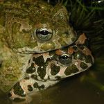 Green Toad (Bufotes viridis) amplex, Sardinia, Italy, May 2011