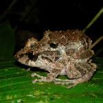 antnest rain frog (Pristimantis croceoinguinis)