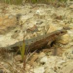 Viviparous Lizard (Zootoca vivipara) pregnant female