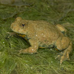Yellow-bellied Toad (Bombina variegata variegata), Bonn, Germany, July 2014